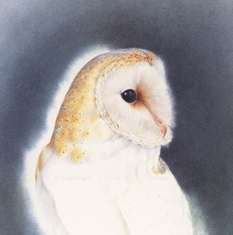 Barn Owl head (2)