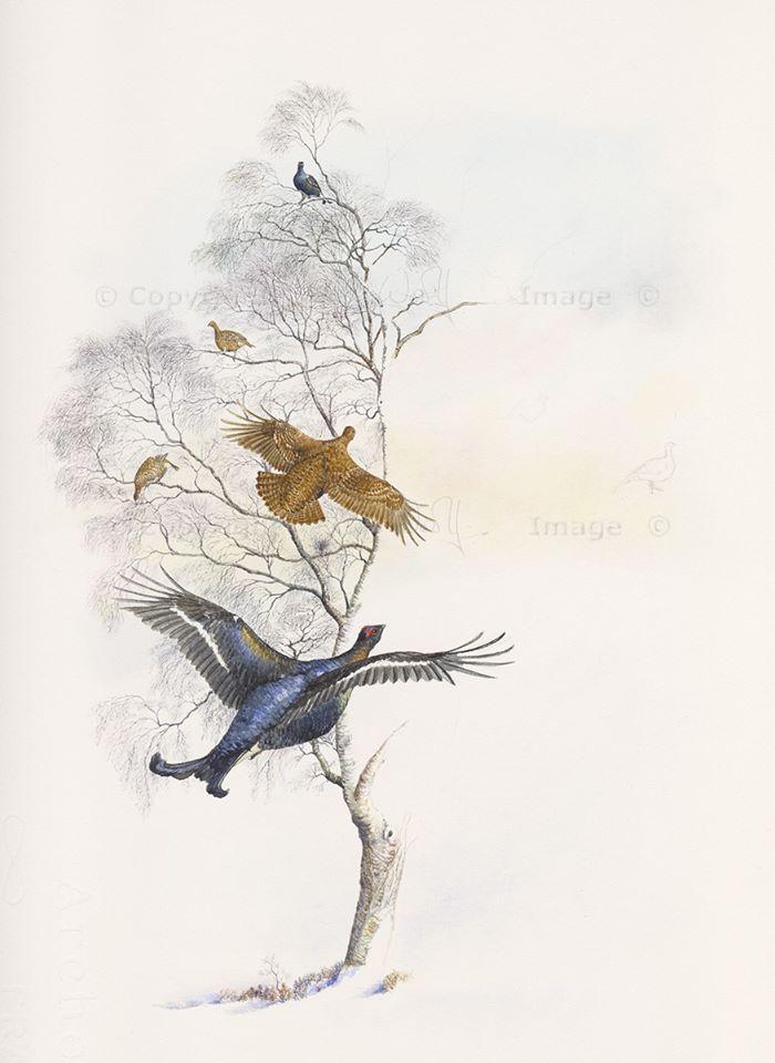 Black grouse in silver birch (2)