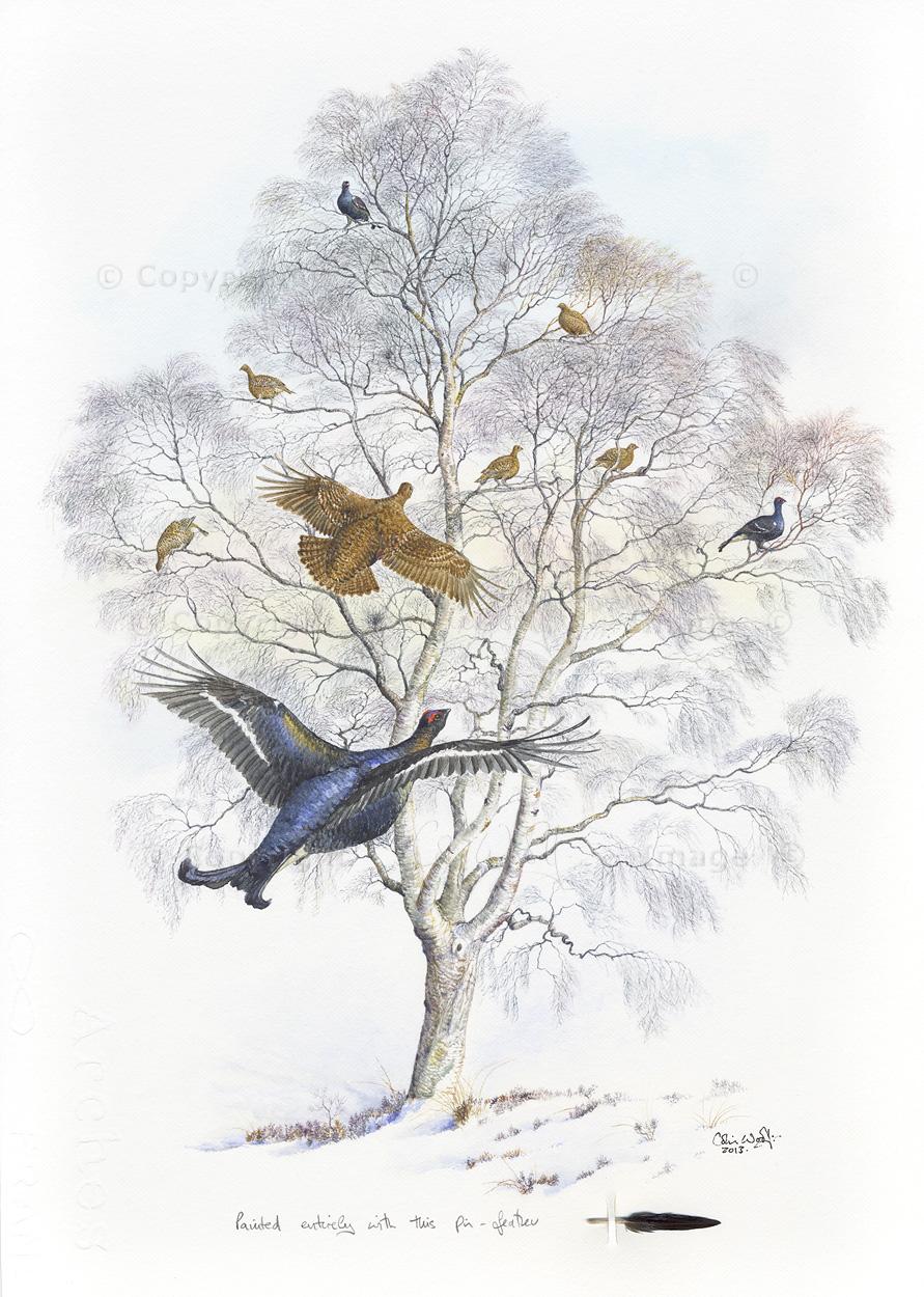 Black grouse in silver birch (4)