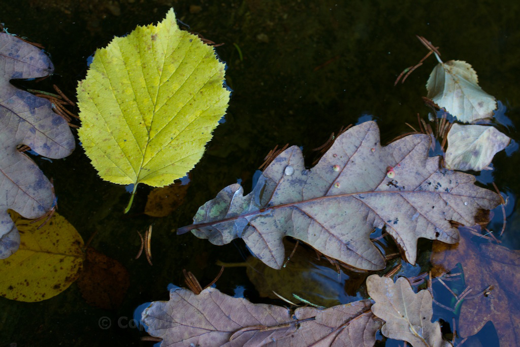 Galls on oak leaf