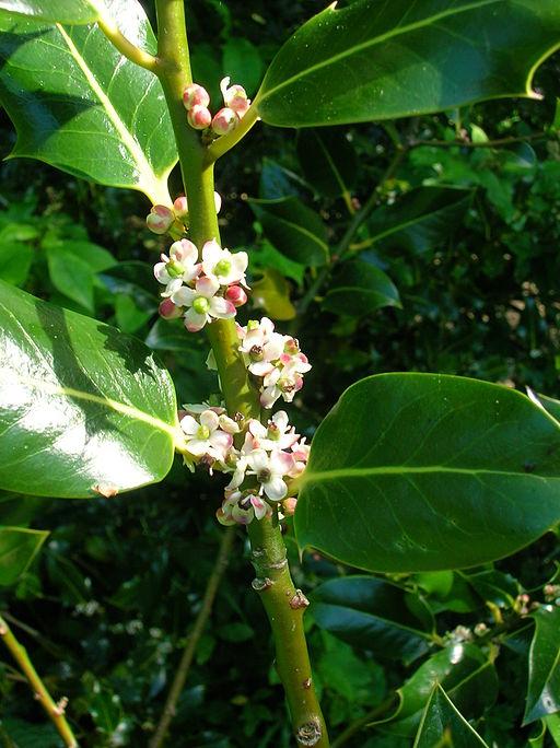 Holly flowers (Wikimedia)