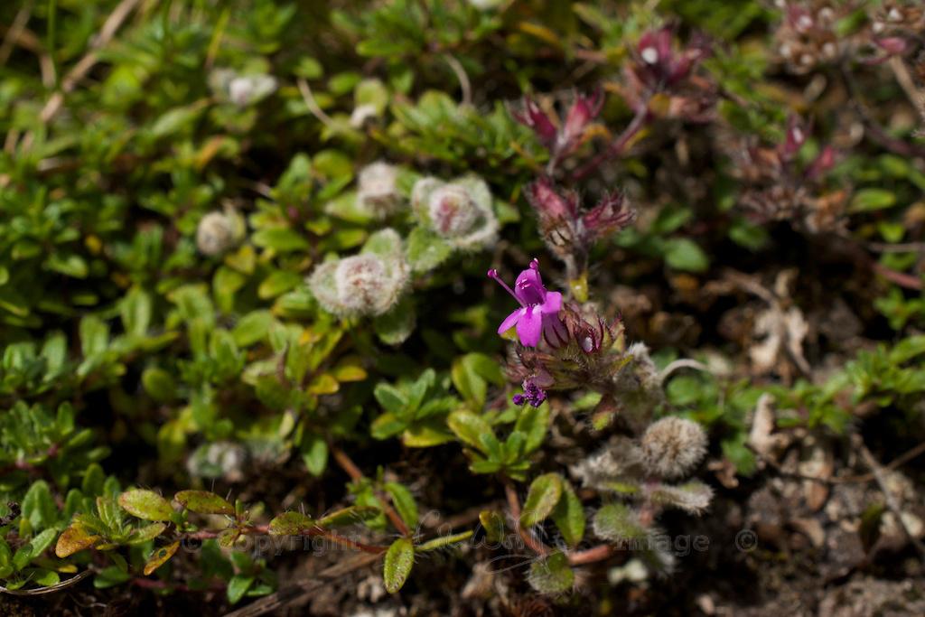 Wild thyme flowers 7