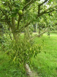 Mistletoe in an apple tree, Essex (pic by Chilepine via Wikimedia)