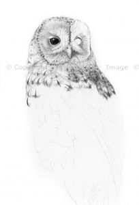 Tawny owl pencil drawing by Colin Woolf
