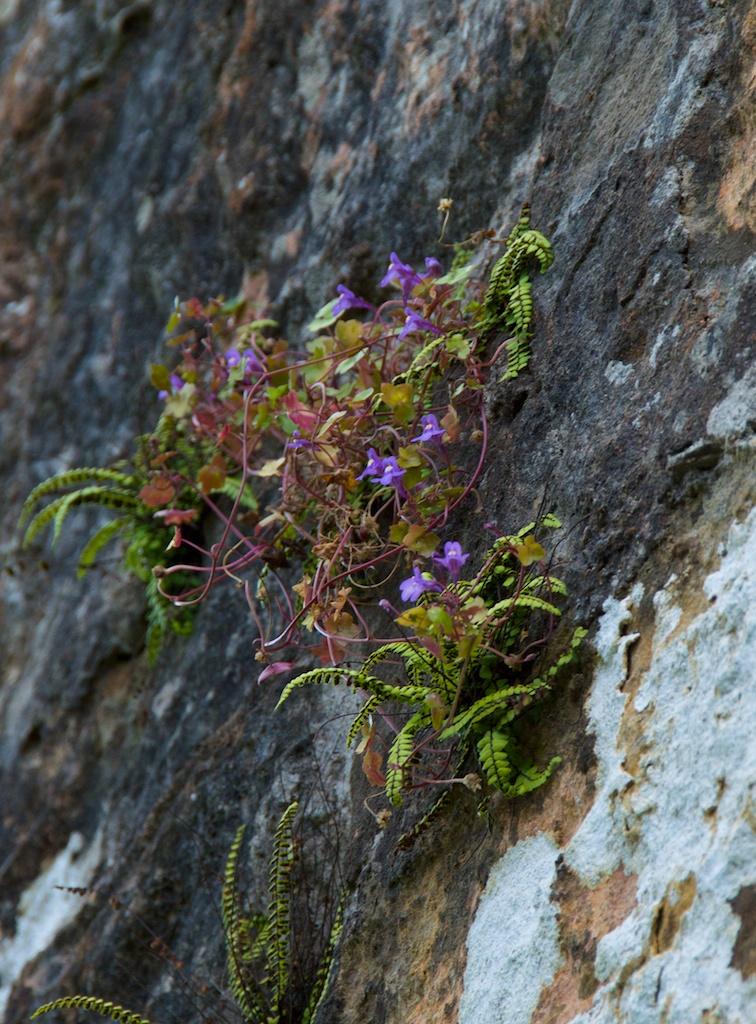 Growing with a small fern called maidenhair spleenwort