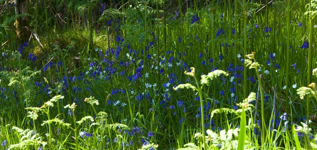 Bluebells and stitchwort, Taynish