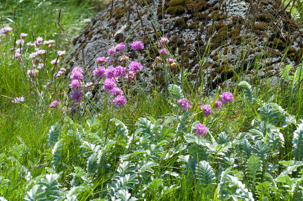 Thrift and silverweed