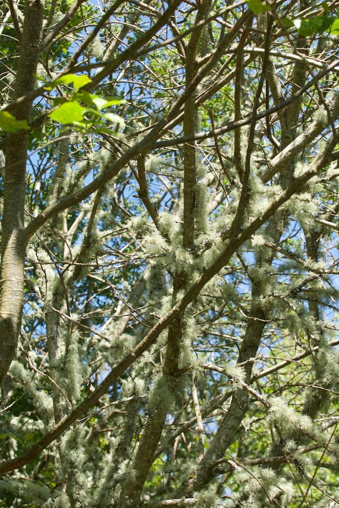 Taynish - lichen