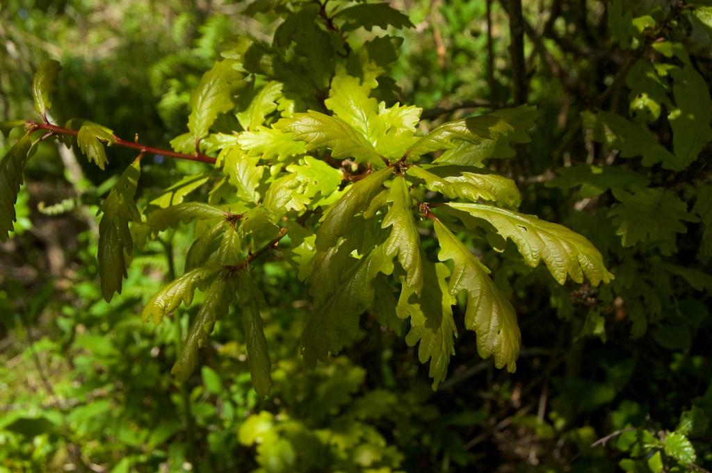 Oak leaves, Taynish 2