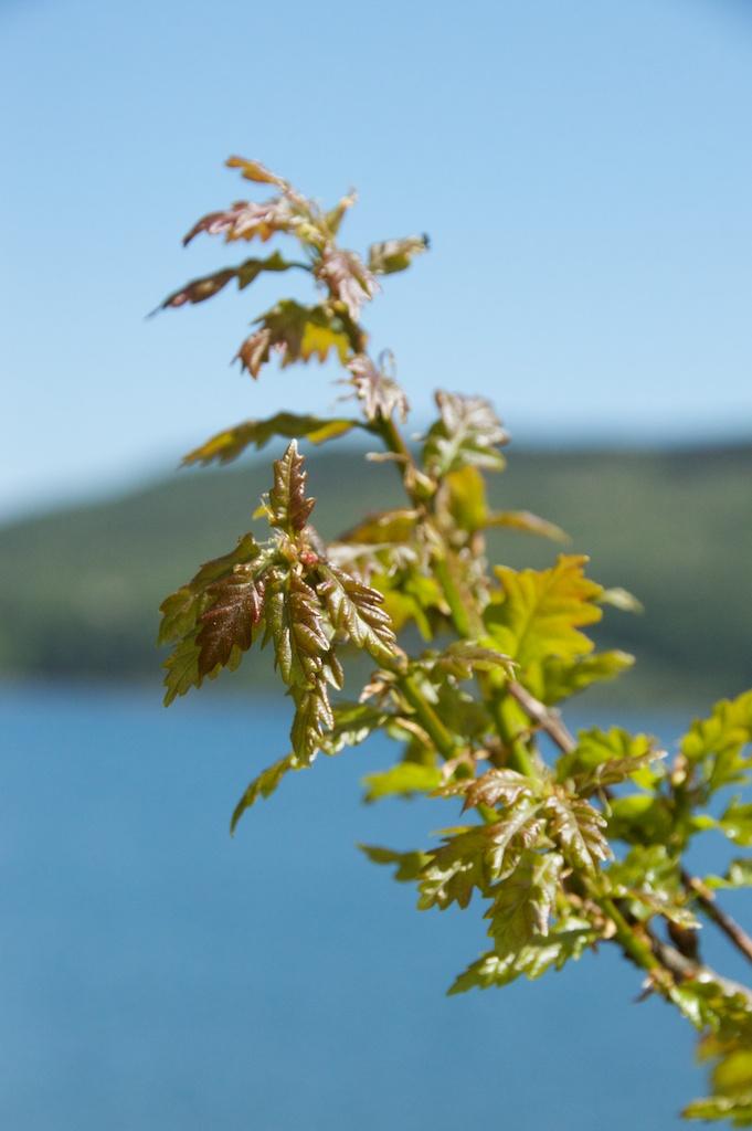 Oak leaves, Taynish