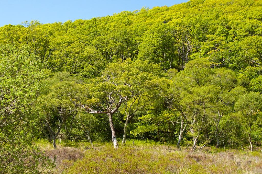 Taynish woods (1)
