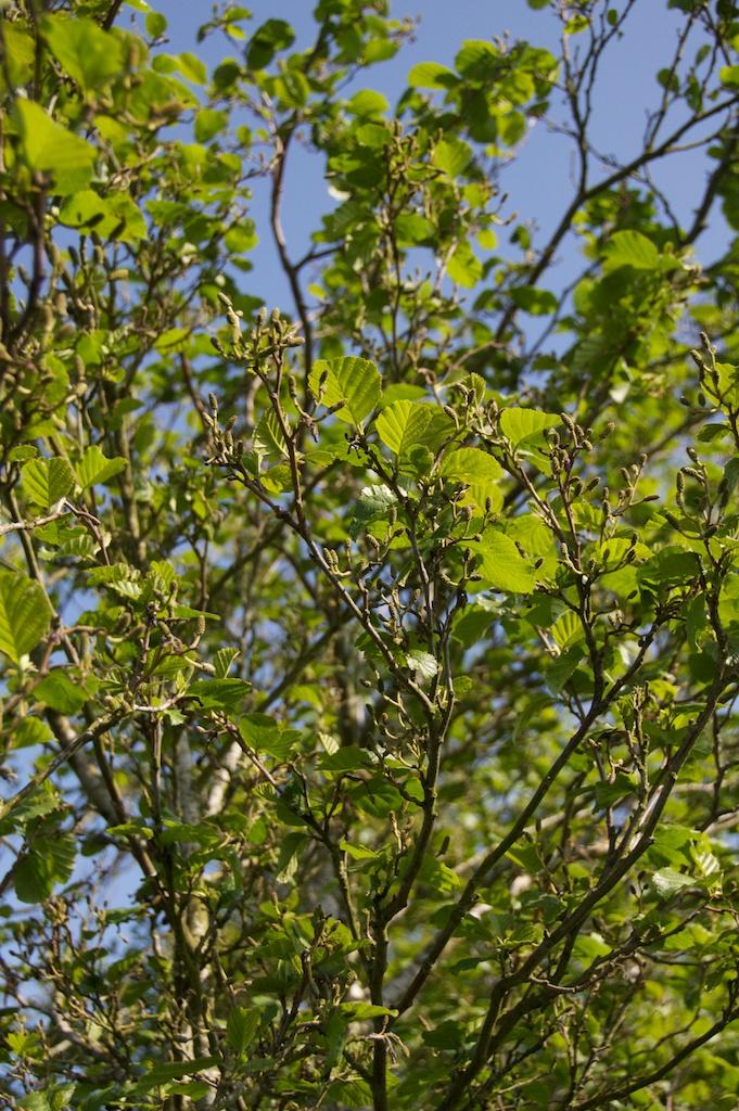 Alder leaves and catkins 1