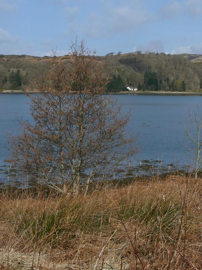 Alders by Loch Etive