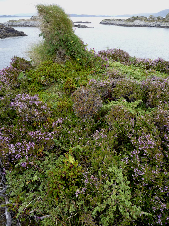 Juniper mingling with heather and tormentil in the Garvellachs