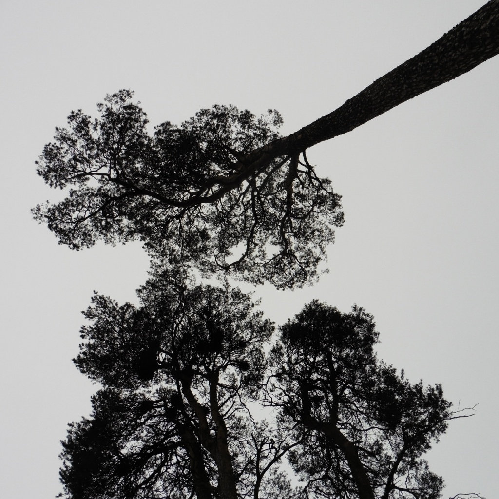 Scots pines Kelso 1