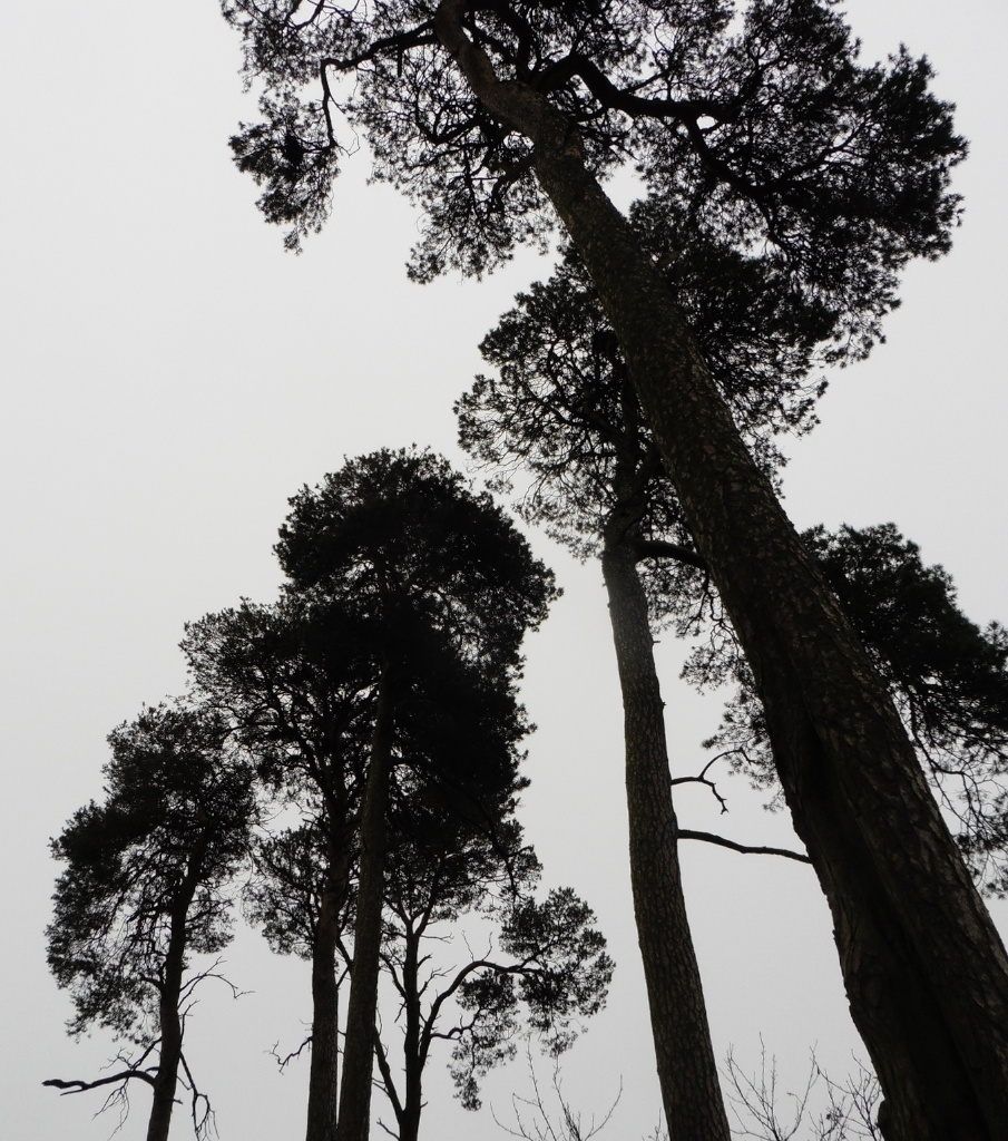 Scots Pines Kelso 2