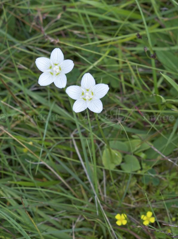 Grass of Parnassus
