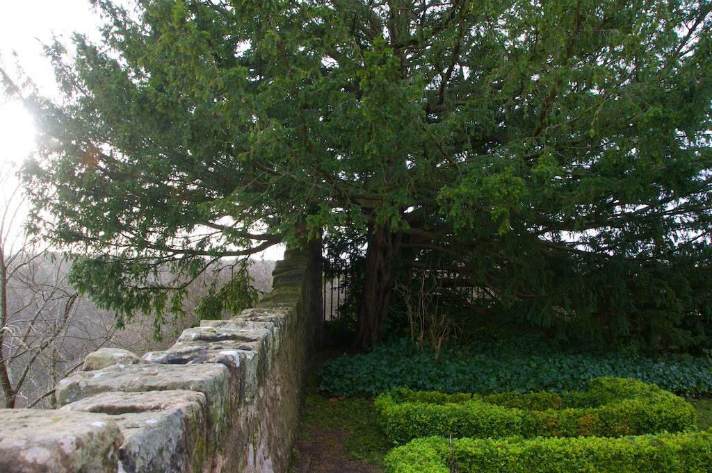 Yew tree, Rosslyn Chapel (3)