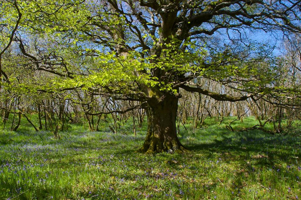 Beech tree Ballachuan JW 172
