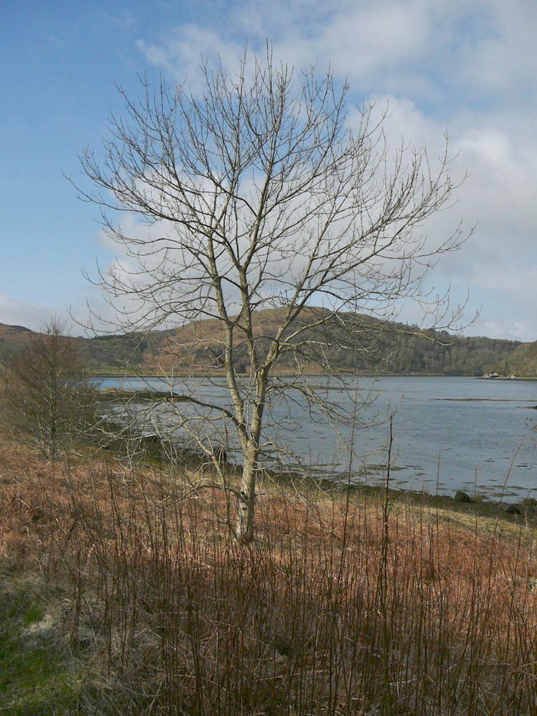 Ash tree, Oban